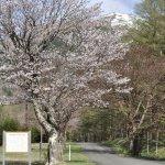 狩勝高原旧国道の桜並木